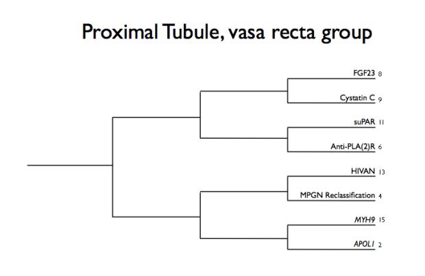 proximal tubule vasa recta