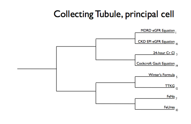 Collecting tubule Principal cell