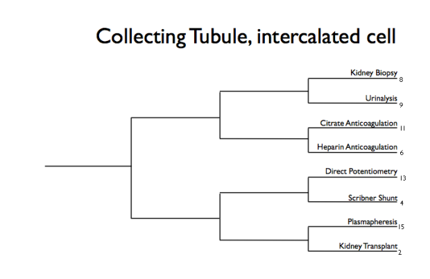 Collecting tubule intercalated